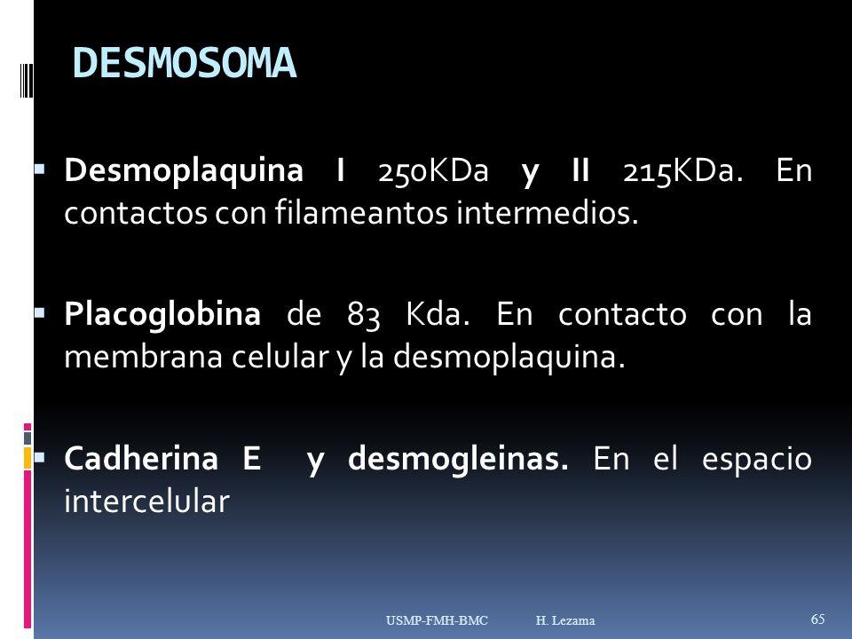 DESMOSOMA Desmoplaquina I 250KDa y II 215KDa.En contactos con filameantos intermedios.