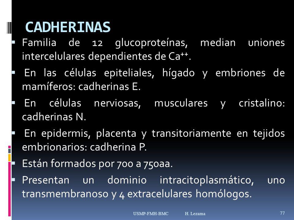 CADHERINAS Familia de 12 glucoproteínas, median uniones intercelulares dependientes de Ca ++.