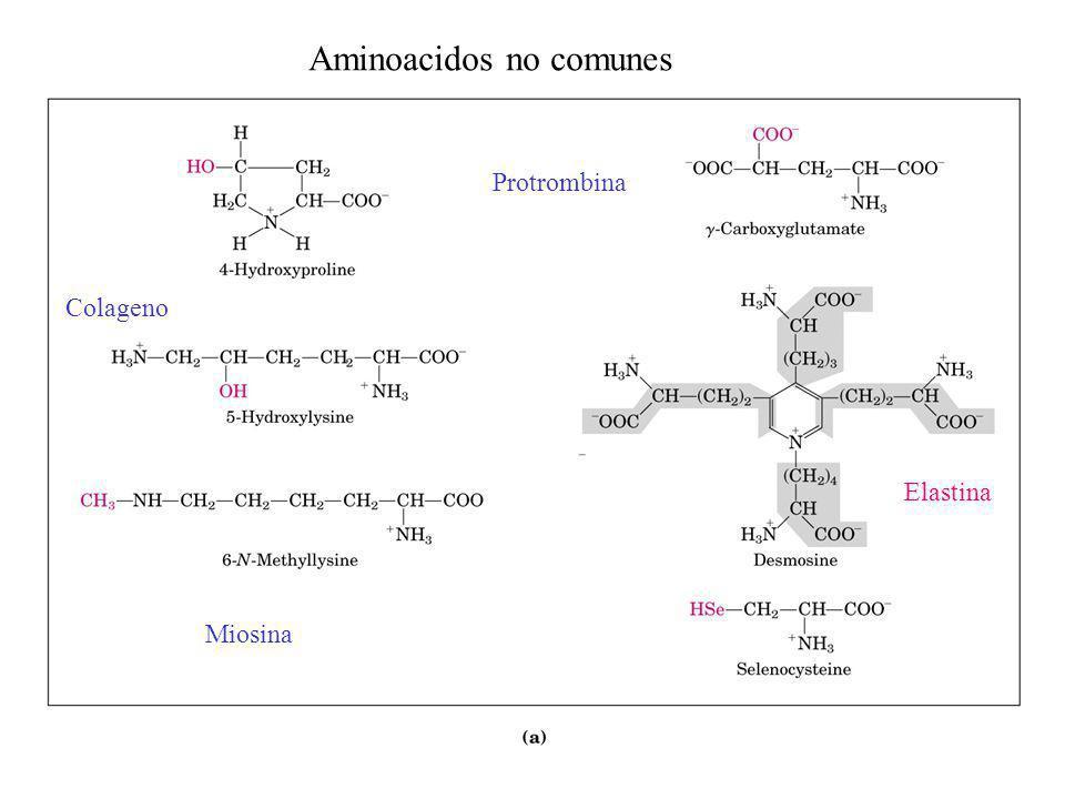 Miosina Elastina Colageno Protrombina Aminoacidos no comunes