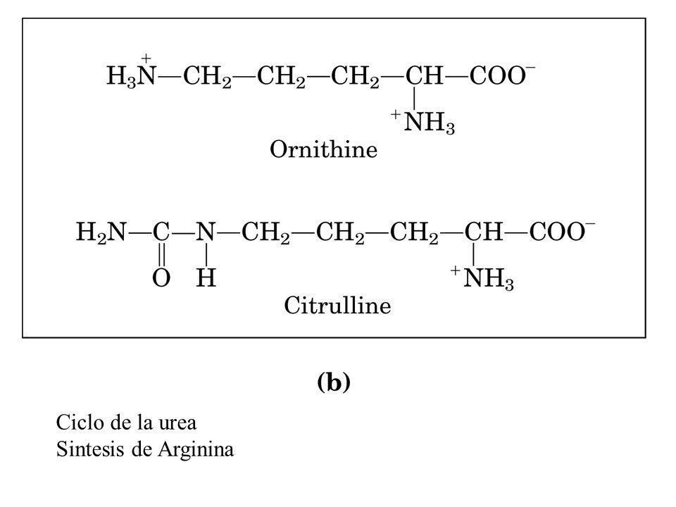 Ciclo de la urea Sintesis de Arginina