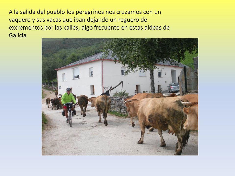 A la salida del pueblo los peregrinos nos cruzamos con un vaquero y sus vacas que iban dejando un reguero de excrementos por las calles, algo frecuent