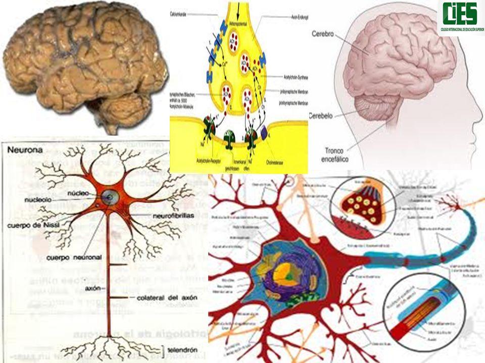La complejidad de la psique del ser humano La anatomía y la fisiología no explican la creatividad en cualquiera de sus manifestaciones: La música, la pintura, la literatura, las hipótesis científicas, la mitología, la religión, los síntomas, los delirios, los sueños, la creación de teorías para explicar las funciones de la mente humana.
