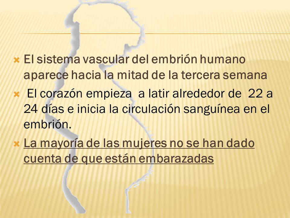 El sistema vascular del embrión humano aparece hacia la mitad de la tercera semana El corazón empieza a latir alrededor de 22 a 24 días e inicia la ci