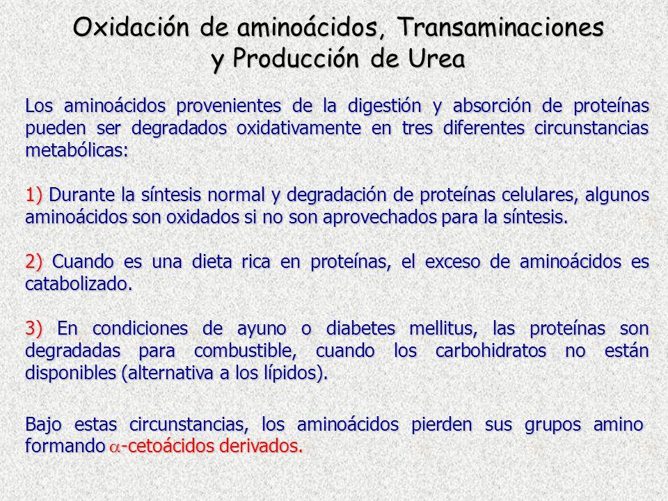Oxidación de aminoácidos, Transaminaciones y Producción de Urea Los aminoácidos provenientes de la digestión y absorción de proteínas pueden ser degra