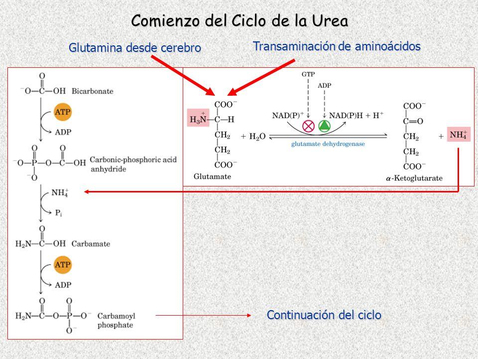 Comienzo del Ciclo de la Urea Glutamina desde cerebro Transaminación de aminoácidos Continuación del ciclo