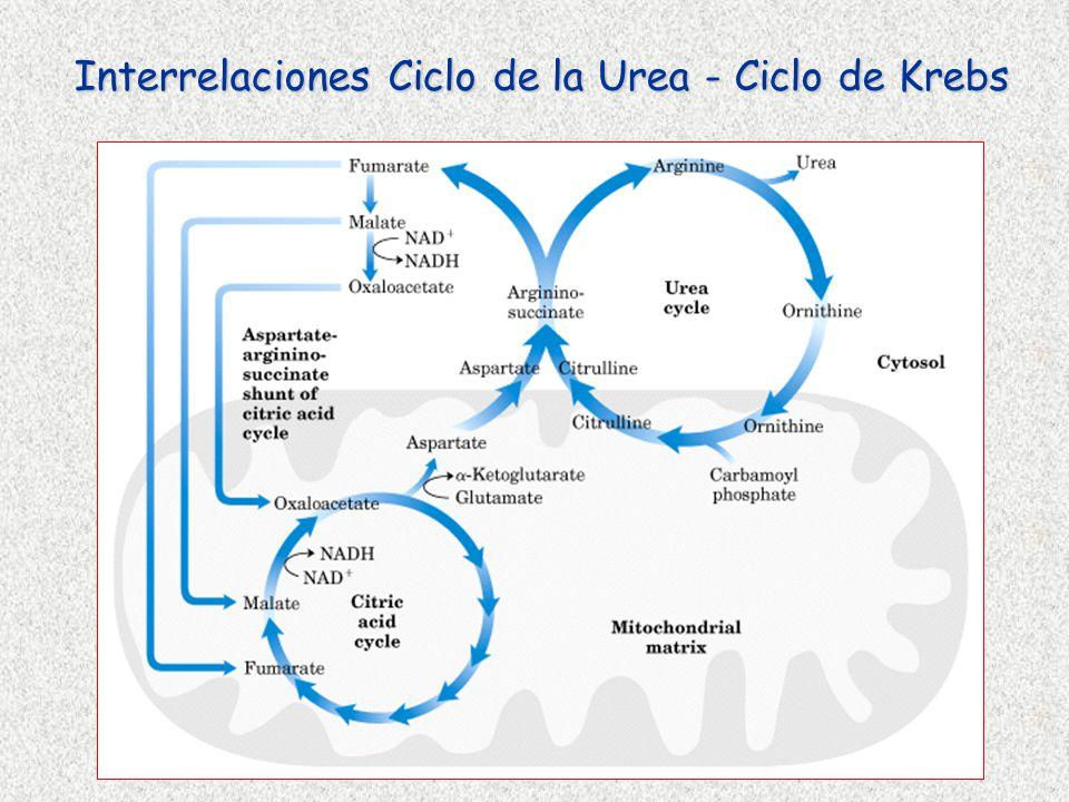 Interrelaciones Ciclo de la Urea - Ciclo de Krebs