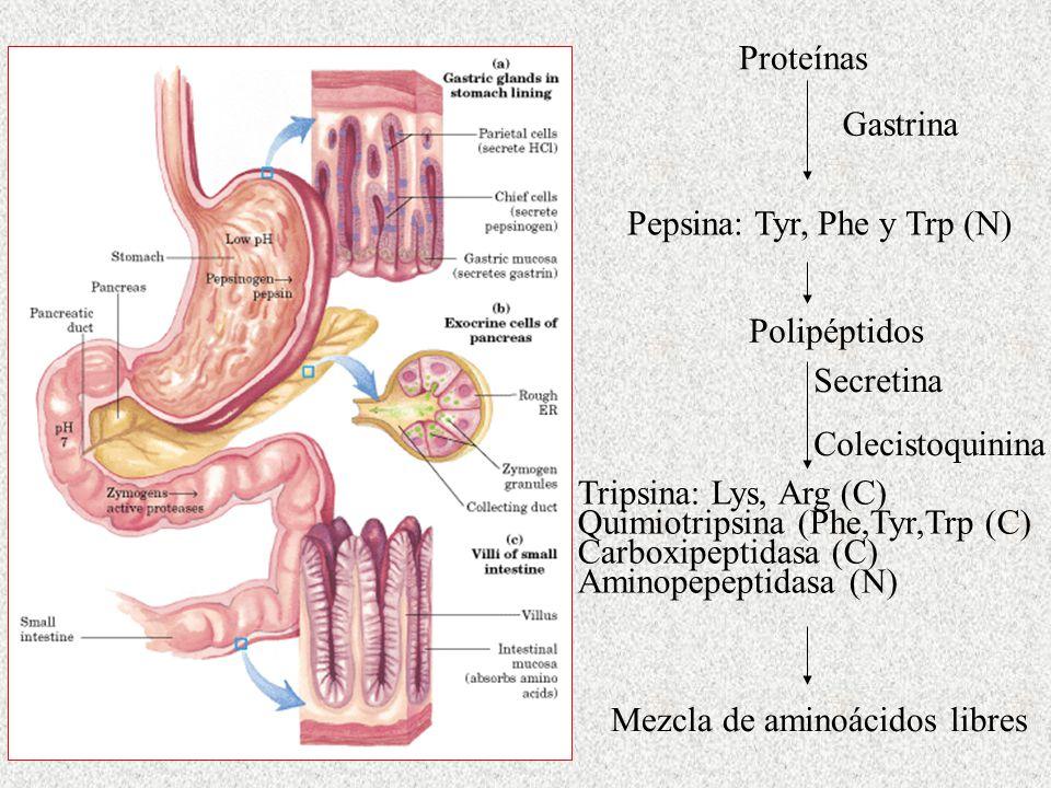 Pepsina: Tyr, Phe y Trp (N) Proteínas Polipéptidos Gastrina Secretina Colecistoquinina Tripsina: Lys, Arg (C) Quimiotripsina (Phe,Tyr,Trp (C) Carboxip