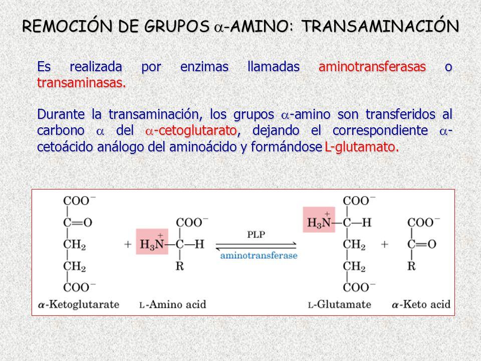 REMOCIÓN DE GRUPOS -AMINO: TRANSAMINACIÓN Es realizada por enzimas llamadas aminotransferasas o transaminasas. Durante la transaminación, los grupos -
