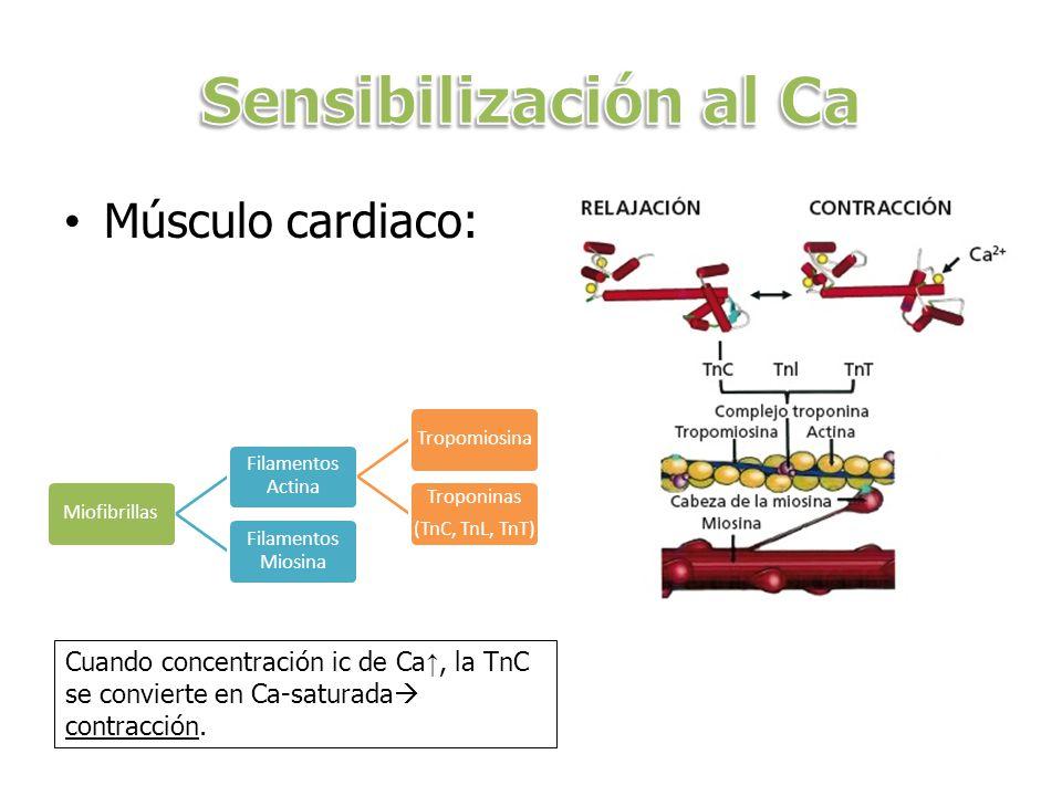 Músculo cardiaco: Miofibrillas Filamentos Actina Tropomiosina Troponinas (TnC, TnL, TnT) Filamentos Miosina Cuando concentración ic de Ca, la TnC se c