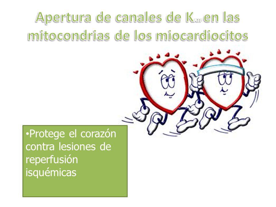 Protege el corazón contra lesiones de reperfusión isquémicas