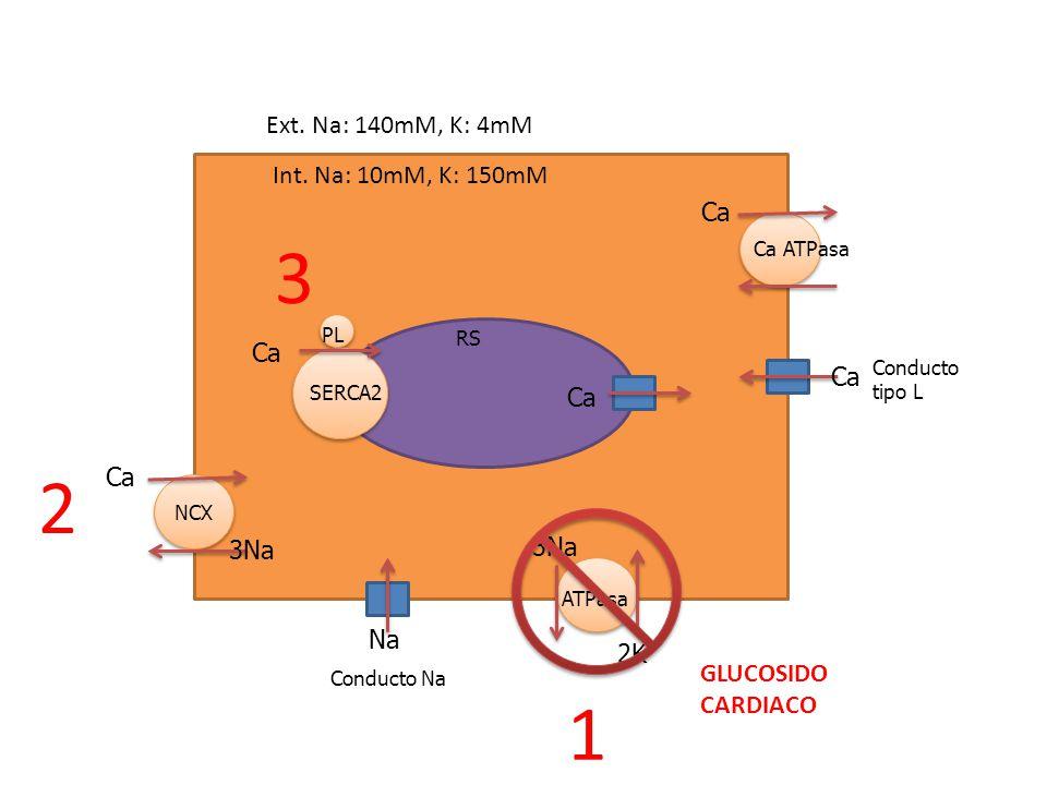 Na Ca Conducto tipo L Conducto Na Ca RS Ca SERCA2 PL NCX Ca 3Na Ca Ca ATPasa 3Na 2K ATPasa GLUCOSIDO CARDIACO Ext. Na: 140mM, K: 4mM Int. Na: 10mM, K: