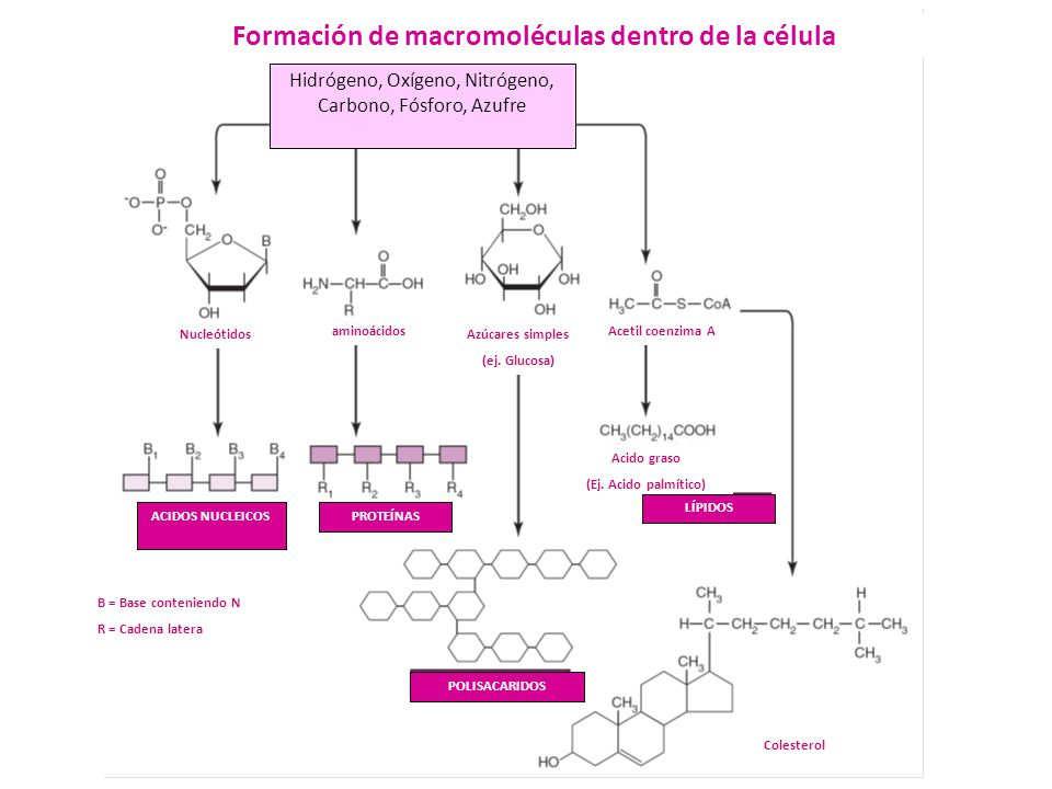 Formación de macromoléculas dentro de la célula Hidrógeno, Oxígeno, Nitrógeno, Carbono, Fósforo, Azufre Nucleótidos aminoácidosAcetil coenzima A Azúca
