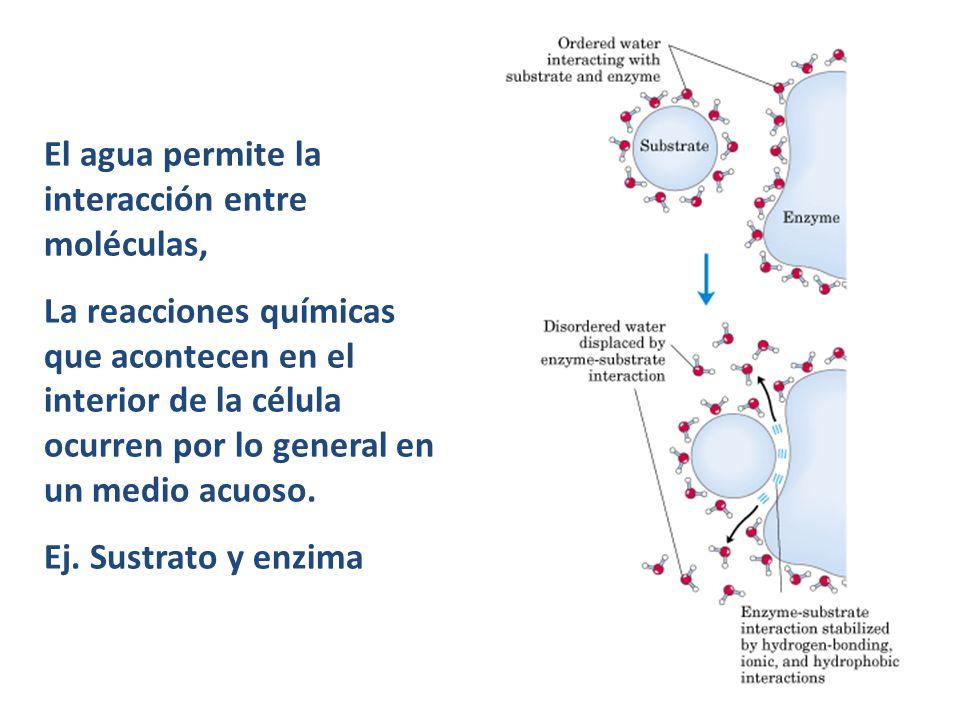 El agua permite la interacción entre moléculas, La reacciones químicas que acontecen en el interior de la célula ocurren por lo general en un medio ac