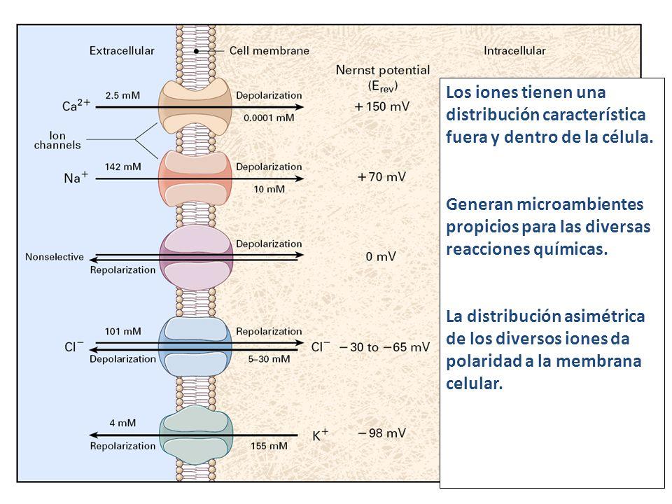Los iones tienen una distribución característica fuera y dentro de la célula. Generan microambientes propicios para las diversas reacciones químicas.