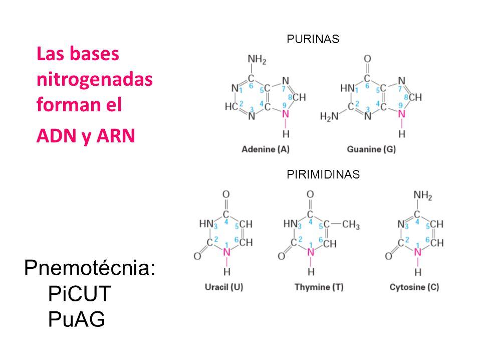 Pnemotécnia: PiCUT PuAG PURINAS PIRIMIDINAS Las bases nitrogenadas forman el ADN y ARN