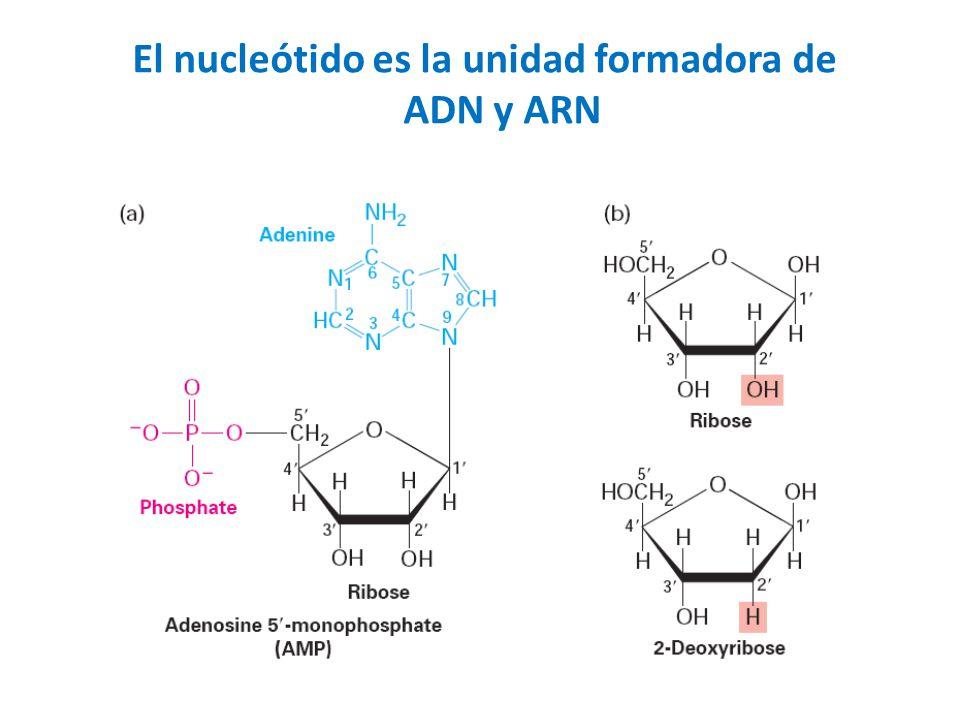 El nucleótido es la unidad formadora de ADN y ARN