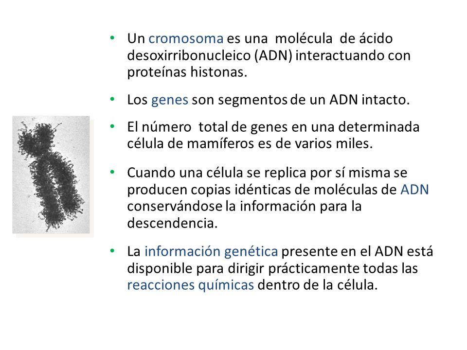 Un cromosoma es una molécula de ácido desoxirribonucleico (ADN) interactuando con proteínas histonas. Los genes son segmentos de un ADN intacto. El nú