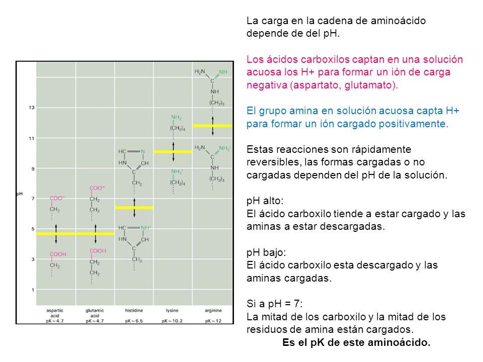 La carga en la cadena de aminoácido depende de del pH. Los ácidos carboxilos captan en una solución acuosa los H+ para formar un ión de carga negativa