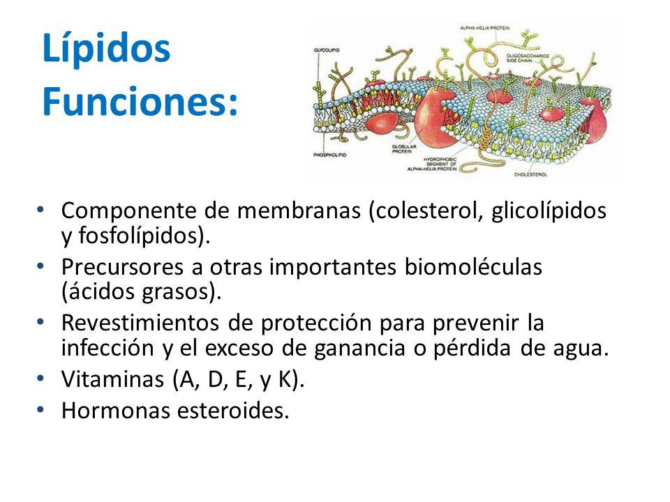 Lípidos Funciones: Componente de membranas (colesterol, glicolípidos y fosfolípidos). Precursores a otras importantes biomoléculas (ácidos grasos). Re
