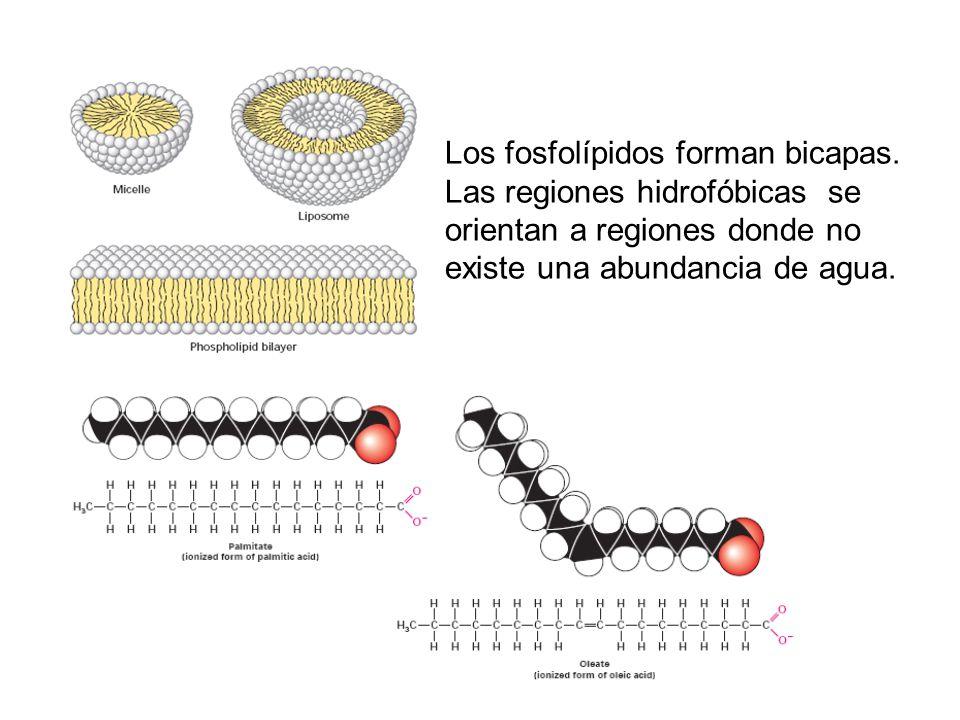 Los fosfolípidos forman bicapas. Las regiones hidrofóbicas se orientan a regiones donde no existe una abundancia de agua.