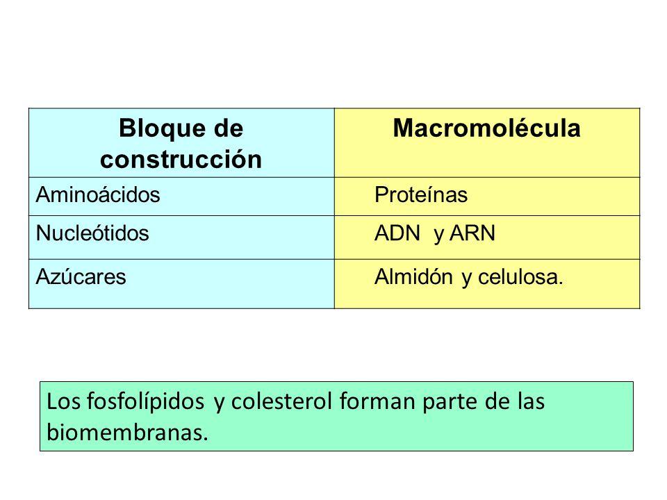 Bloque de construcción Macromolécula AminoácidosProteínas NucleótidosADN y ARN AzúcaresAlmidón y celulosa. Los fosfolípidos y colesterol forman parte