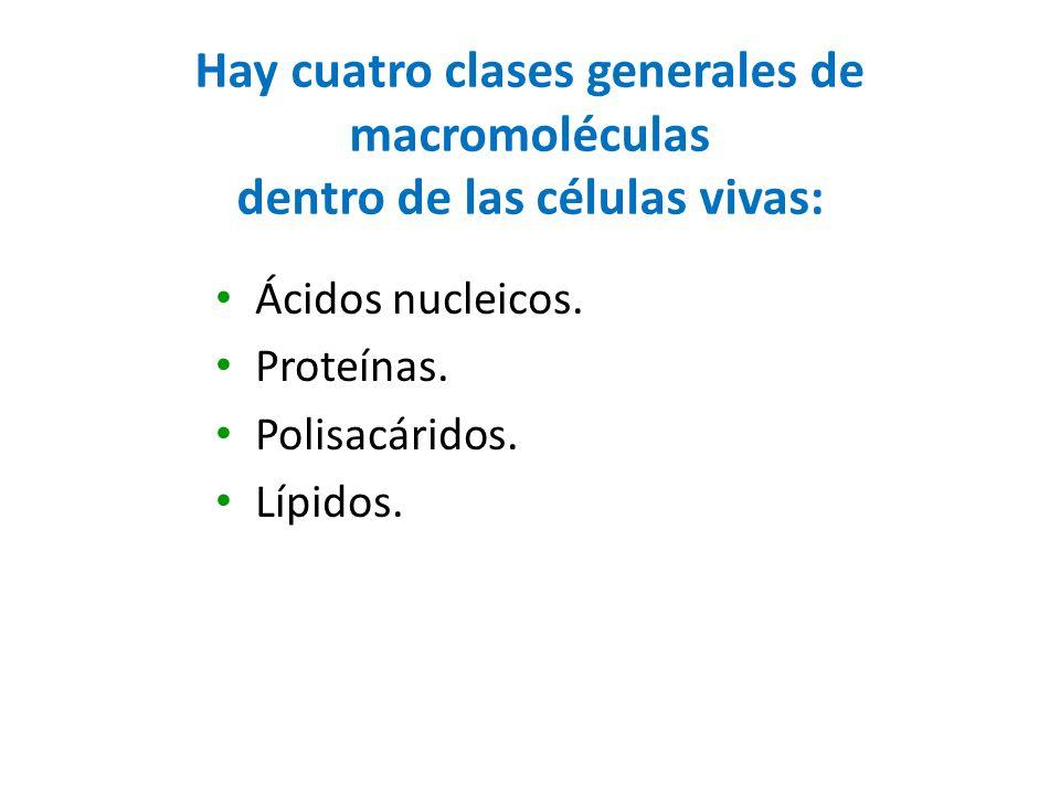 Hay cuatro clases generales de macromoléculas dentro de las células vivas: Ácidos nucleicos. Proteínas. Polisacáridos. Lípidos.