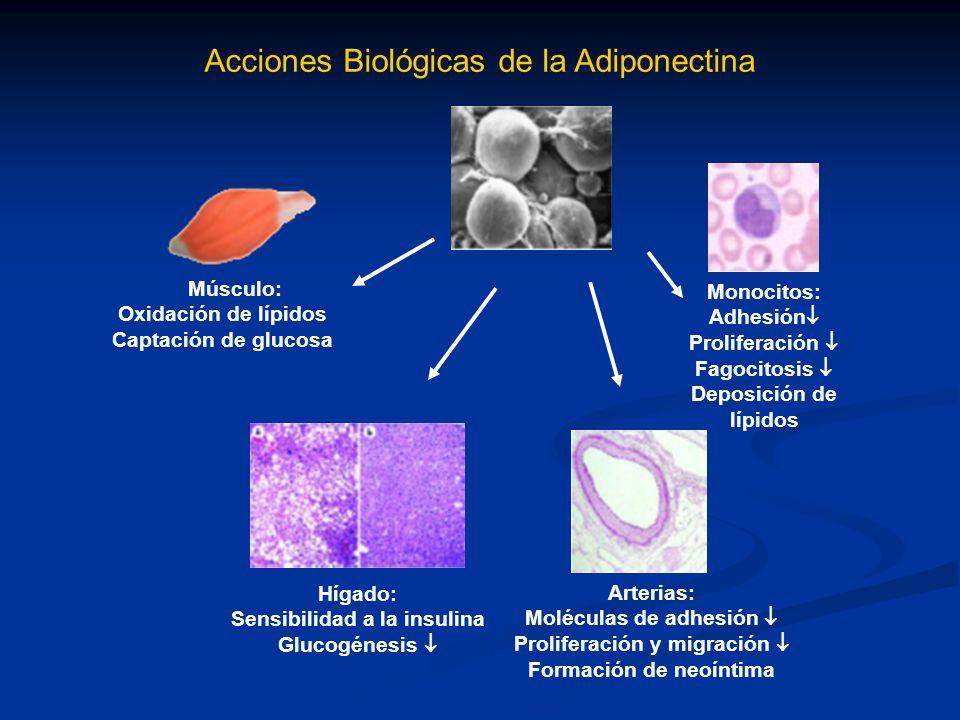 Acciones Biológicas de la Adiponectina Músculo: Oxidación de lípidos Captación de glucosa Monocitos: Adhesión Proliferación Fagocitosis Deposición de