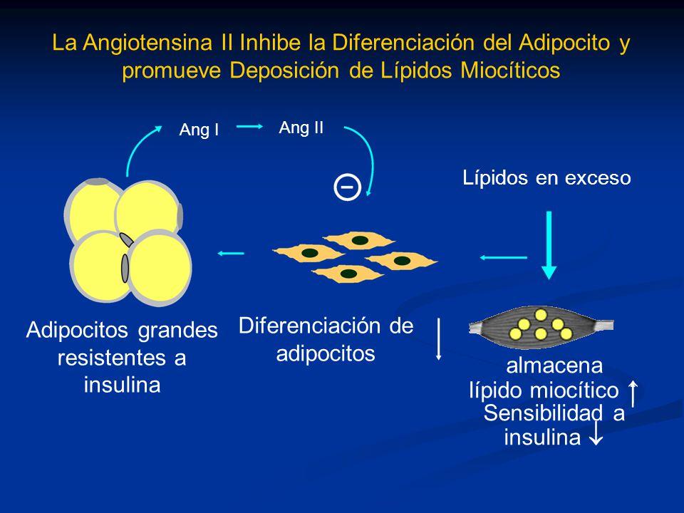 La Angiotensina II Inhibe la Diferenciación del Adipocito y promueve Deposición de Lípidos Miocíticos Adipocitos grandes resistentes a insulina Difere