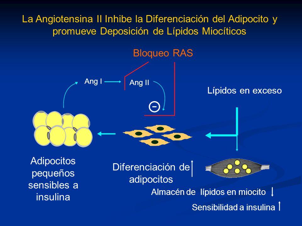 Bloqueo RAS Almacén de lípidos en miocito Sensibilidad a insulina Diferenciación de adipocitos Adipocitos pequeños sensibles a insulina La Angiotensin