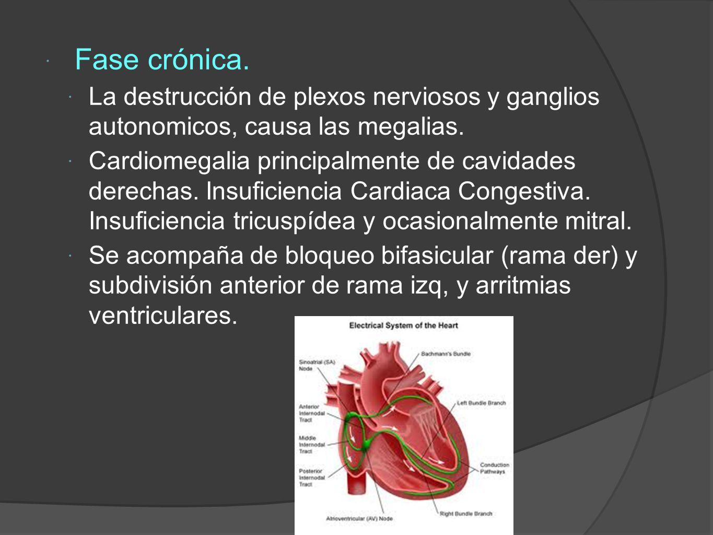 Fase crónica.La destrucción de plexos nerviosos y ganglios autonomicos, causa las megalias.