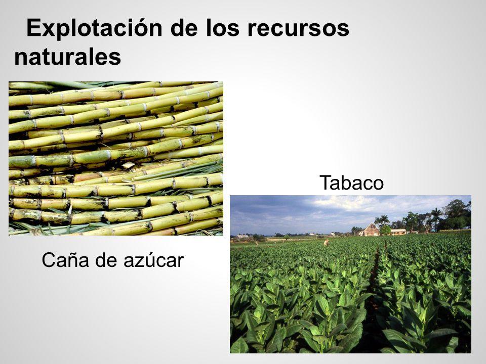 Explotación de los recursos naturales Caña de azúcar Tabaco
