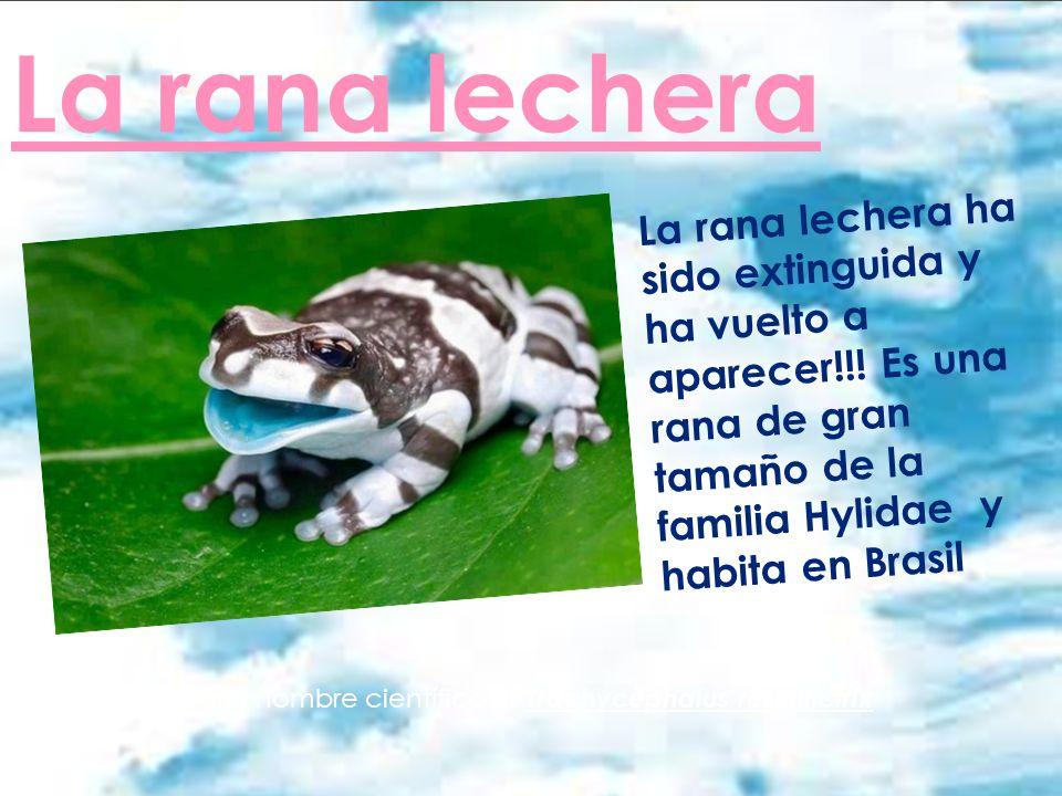 La rana lechera La rana lechera ha sido extinguida y ha vuelto a aparecer!!! Es una rana de gran tamaño de la familia Hylidae y habita en Brasil. La r