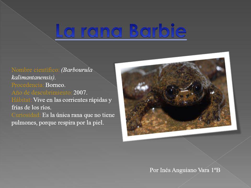 Nombre científico: (Barbourula kalimantanensis). Procedencia: Borneo. Año de descubrimiento: 2007. Hábitat: Vive en las corrientes rápidas y frías de