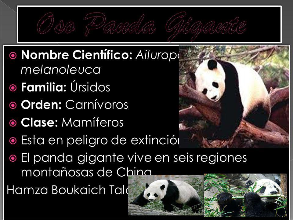 Nombre Científico: Ailuropoda melanoleuca Familia: Úrsidos Orden: Carnívoros Clase: Mamíferos Esta en peligro de extinción El panda gigante vive en se