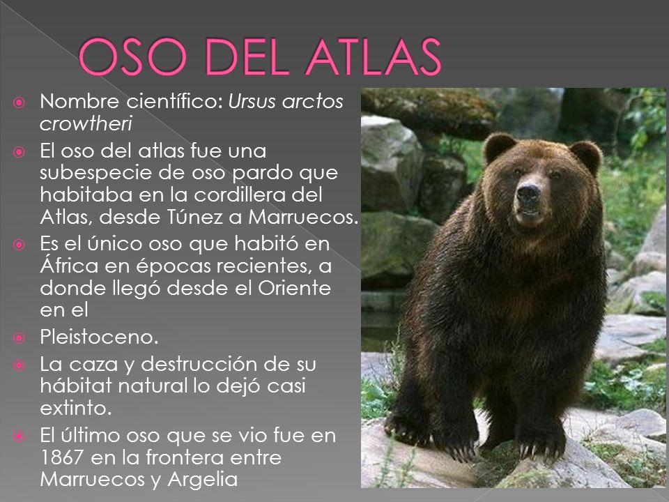 Nombre científico: Ursus arctos crowtheri El oso del atlas fue una subespecie de oso pardo que habitaba en la cordillera del Atlas, desde Túnez a Marr