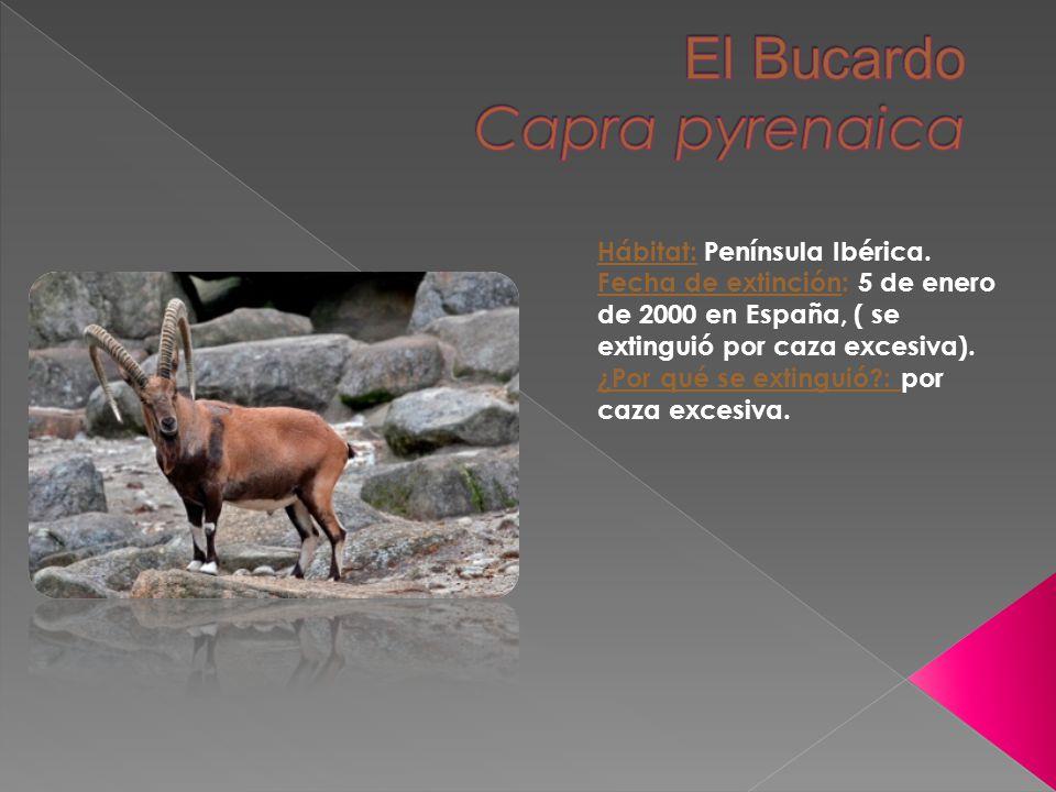 Hábitat: Península Ibérica. Fecha de extinción: 5 de enero de 2000 en España, ( se extinguió por caza excesiva). ¿Por qué se extinguió?: por caza exce