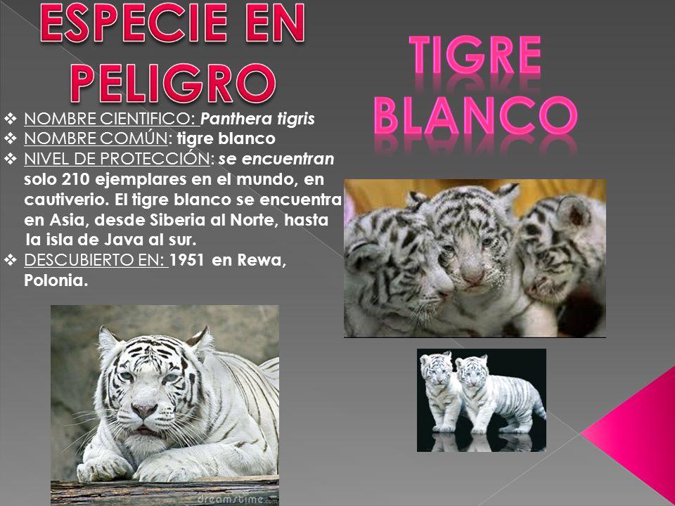 NOMBRE CIENTIFICO: Panthera tigris NOMBRE COMÚN: tigre blanco NIVEL DE PROTECCIÓN: se encuentran solo 210 ejemplares en el mundo, en cautiverio. El ti