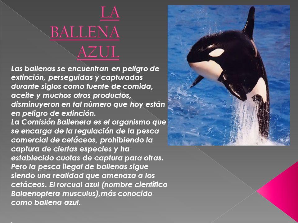 Las ballenas se encuentran en peligro de extinción, perseguidas y capturadas durante siglos como fuente de comida, aceite y muchos otros productos, di