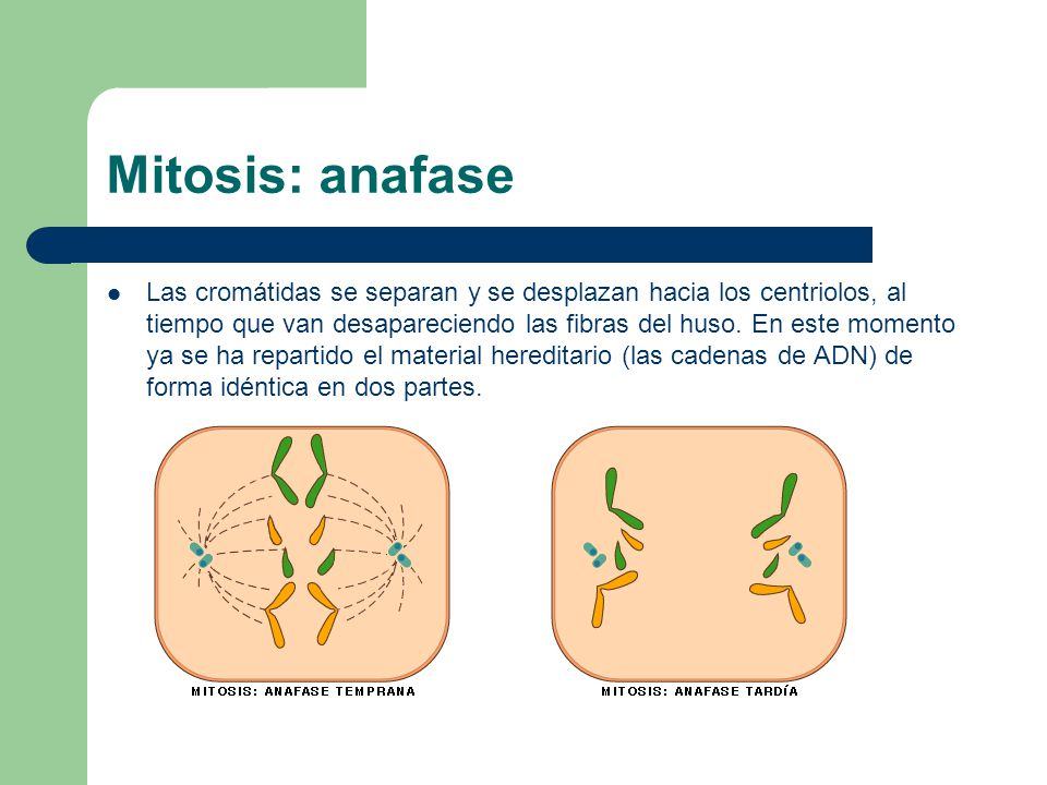 Mitosis: anafase Las cromátidas se separan y se desplazan hacia los centriolos, al tiempo que van desapareciendo las fibras del huso. En este momento