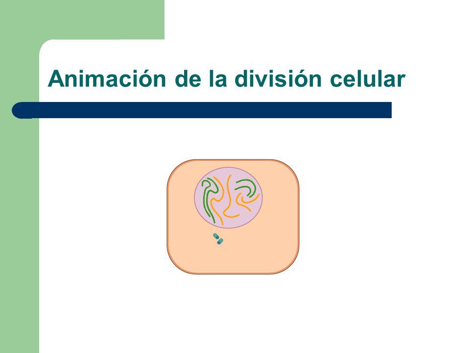 Animación de la división celular