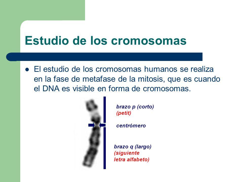 Estudio de los cromosomas El estudio de los cromosomas humanos se realiza en la fase de metafase de la mitosis, que es cuando el DNA es visible en for