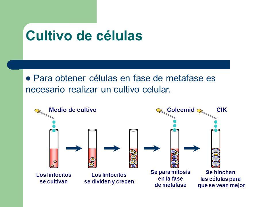 Medio de cultivo Los linfocitos se cultivan Los linfocitos se dividen y crecen Colcemid Se para mitosis en la fase de metafase ClK Se hinchan las células para que se vean mejor Cultivo de células Para obtener células en fase de metafase es necesario realizar un cultivo celular.