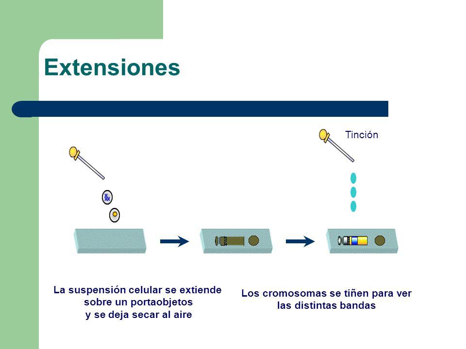 La suspensión celular se extiende sobre un portaobjetos y se deja secar al aire Los cromosomas se tiñen para ver las distintas bandas Tinción Extensiones