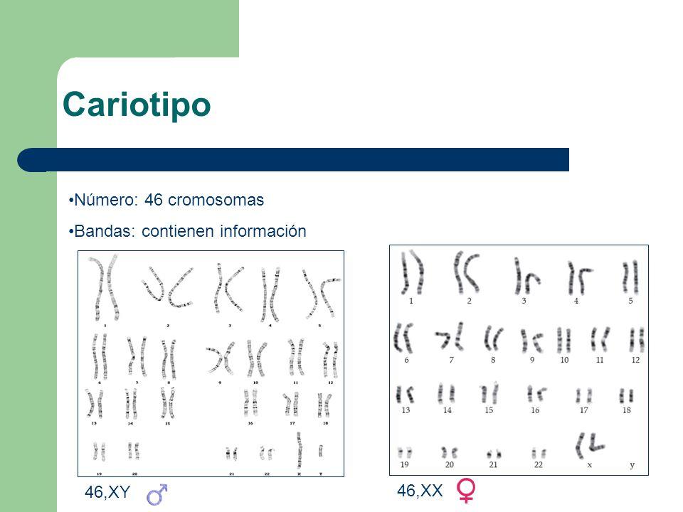 Cariotipo Número: 46 cromosomas Bandas: contienen información 46,XY 46,XX