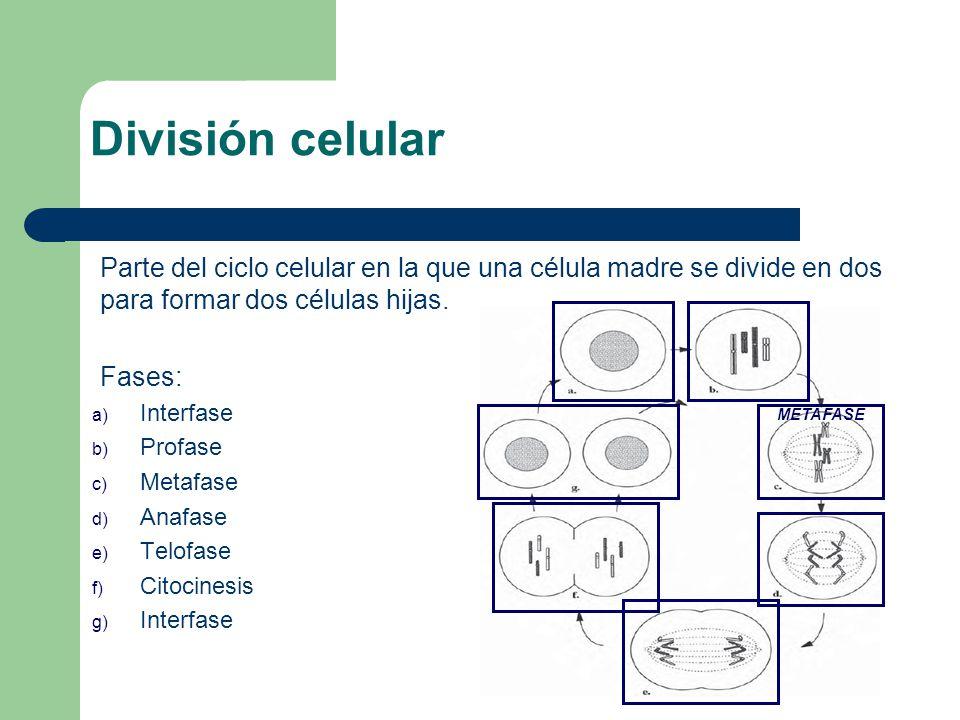 Parte del ciclo celular en la que una célula madre se divide en dos para formar dos células hijas. Fases: a) Interfase b) Profase c) Metafase d) Anafa