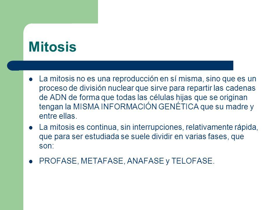 Mitosis La mitosis no es una reproducción en sí misma, sino que es un proceso de división nuclear que sirve para repartir las cadenas de ADN de forma
