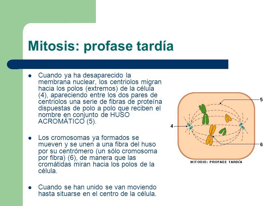Mitosis: profase tardía Cuando ya ha desaparecido la membrana nuclear, los centriolos migran hacia los polos (extremos) de la célula (4), apareciendo entre los dos pares de centriolos una serie de fibras de proteína dispuestas de polo a polo que reciben el nombre en conjunto de HUSO ACROMÁTICO (5).