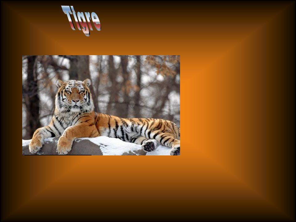 Aunque en Asia nunca haya habido comparación con los ungulados de África, Asia tiene a los dos depredadores más grandes del mundo: el tigre y el león.