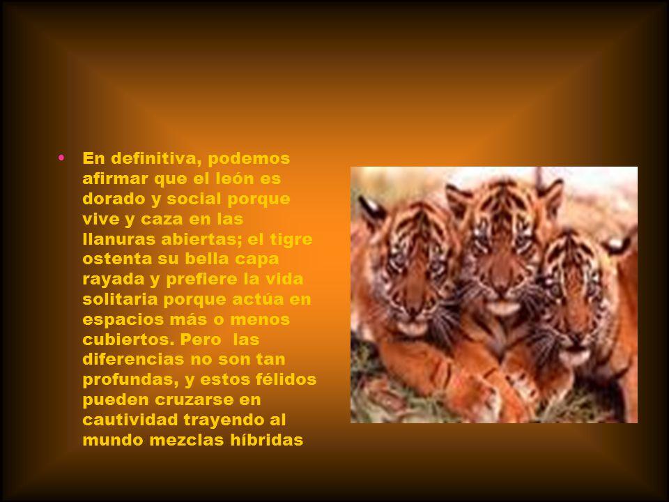 En definitiva, podemos afirmar que el león es dorado y social porque vive y caza en las llanuras abiertas; el tigre ostenta su bella capa rayada y prefiere la vida solitaria porque actúa en espacios más o menos cubiertos.