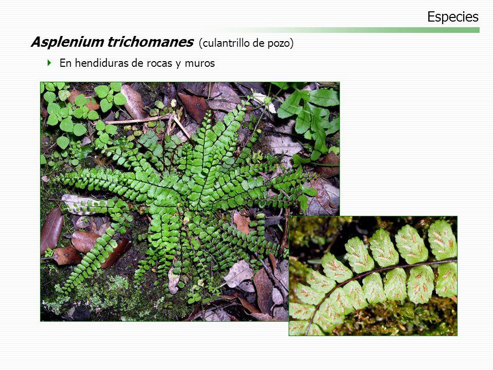 Especies Asplenium trichomanes (culantrillo de pozo) En hendiduras de rocas y muros